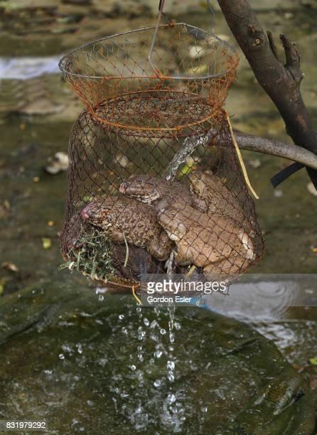 Edible frogs (Hoplobatrachus rugulosus) for sale in roadside wire basket.