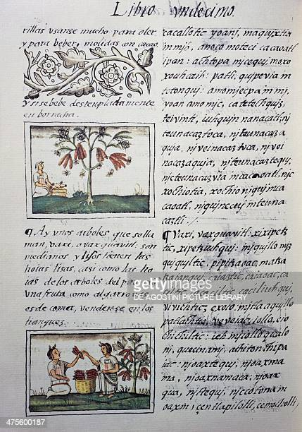 Edible plants red beans page from Book XI of the Florentine Codex bilingual version in Spanish and Nahuatl General History of the Things of New Spain...