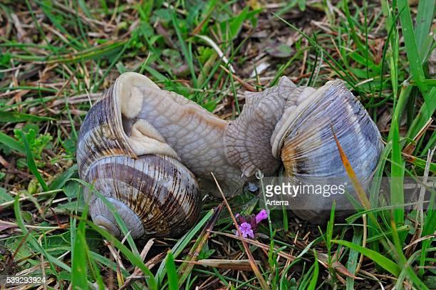 Edible snails / Burgundy snail / Roman snail mating in meadow Belgium