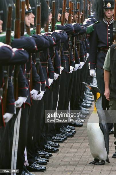 Edinburgh Zoo penguin and ColonelinChief of the Norwegian King's Guard Nils Olav inspects his regiment as they visit him in Edinburgh to give him...