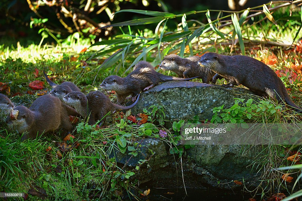 Edinburgh Zoo's short clawed otter pups venture out in their enclosure on October 3, 2012 in Edinburgh,Scotland. The five otters are from the smallest otter species in the world and the pups born to mum Elena and Dad Ray are around 10 weeks old now, and are their third litter since arriving at the zoo. A native to Southeast Asia, this particular otter will weigh just 3.5kg when fully grown. These water loving animals are known for their extremely agile, hand-like front paws that are complete with short claws giving these otters their name. Using these dexterous paws they can easily tackle a variety of prey, including crabs, snails, molluscs, small fish and insects. Like other otter species they use their strong rudder-like tail to navigate and propel them through the water.