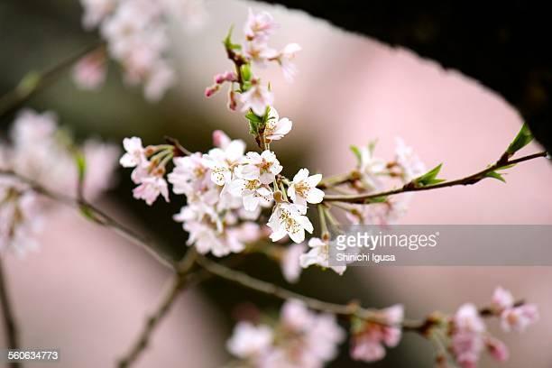 Edohigan Sakura