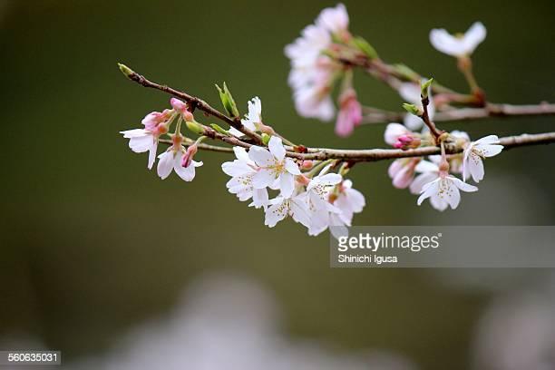 Edohigan-Sakura