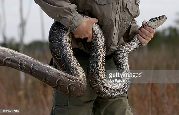 Edward Mercer a Florida Fish and Wildlife Conservation Commission nonnative Wildlife Technician holds a North African Python during a press...