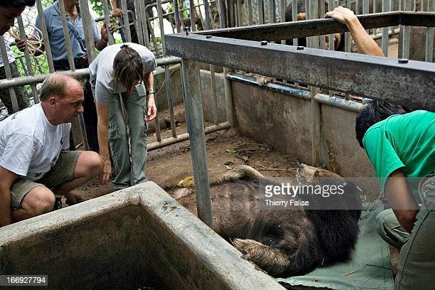 Edwin Wiek from Holland left the founder of the Kao Look Chang Wildlife Rescue Center checks Fai a 16year old male Asiatic Black Bear after giving it...