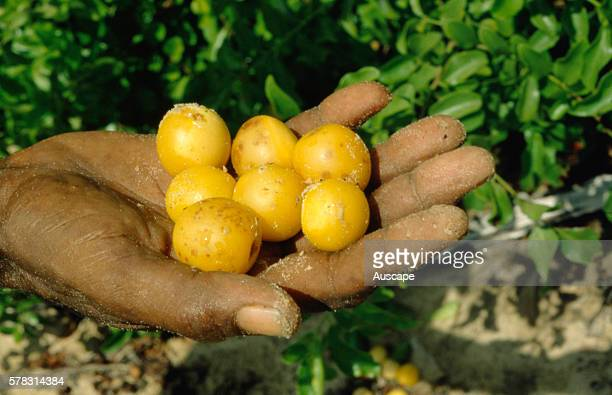 Eeley fruit or Yellow plum Ximenia americana Aboriginal bush tucker The fruits contain medicinal properties Arnhem Land Northern Territory Australia