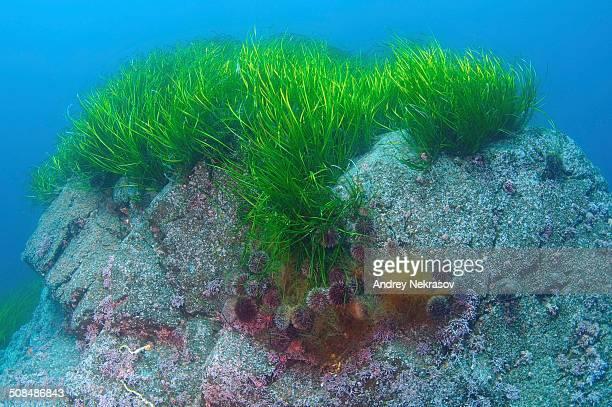 Eelgrass -Zostera marina-, Japan Sea, Far East, Primorsky Krai, Russian Federation
