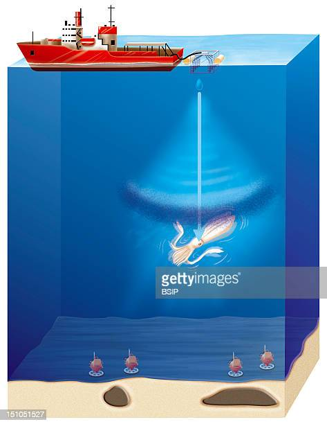 Effects Of Offshore Seismic Oil Detection Surveying Methods On Squid Phase 1 Cf Image No 12115 05 For Phase 2Illustration Of Possible Consequences Of...