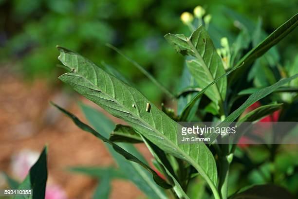 Egg, caterpillar, and milkweed