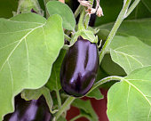 Eggplants are slowly ripened and can be harvested.