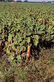 Eggplants on vine
