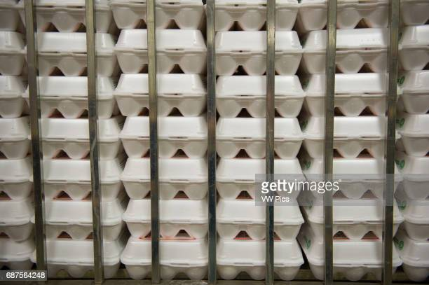 Eggs sorted in cartons on a conventional production commercial egg farm