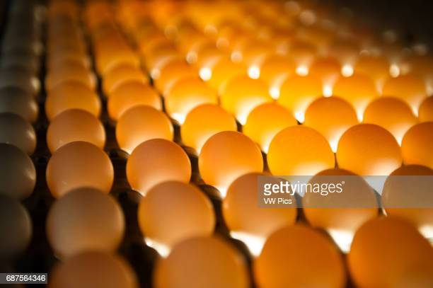 Eggs sorted on a conventional production commercial egg farm