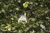A Egret bird prepares their nest on the branches of a way side tree for their annual nesting on the beginning of the monsoon season outskirts of the...
