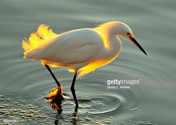 Egret Glowing in the Sunset