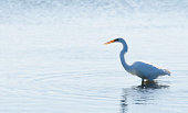 Egret in salt water pond, Nantucket