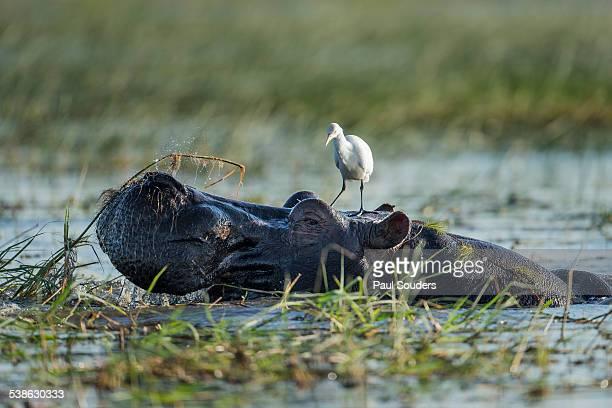 Egret Standing on Hippopotamus Head, Botswana