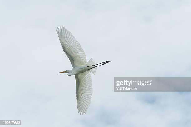 Egret which dances empty
