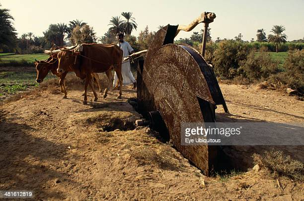 Egypt Agriculture Irrigation Man using irrigation wheel with cattle