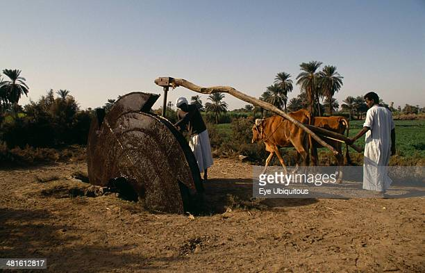 Egypt Agriculture Irrigation Men using modern irrigation wheel with cattle