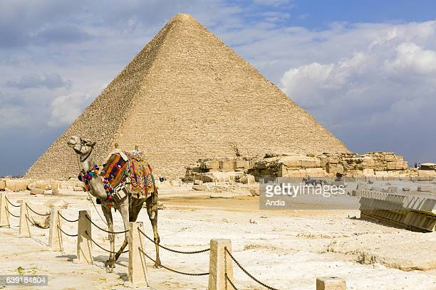 dromedary in front of the Great Sphinx and the Great Pyramid of Giza on the Giza Plateau