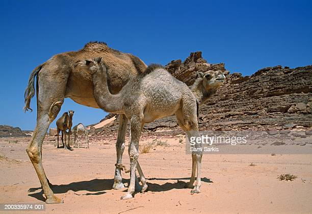 Egypt, camels (Camelus dromedarius sp.) with calves in desert