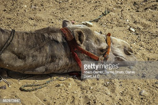 Egyptian camel : Stock Photo