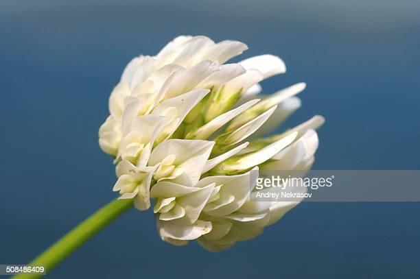 Egyptian clover, Beerseem clover -Trifolium alexandrinum-, Baikal, Siberia, Russian Federation, Eurasia