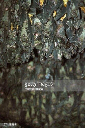 Ägyptische Obst Bats, Uganda