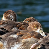 Egyptian Geese Goslings Resting lakeside at a nature conservation area near Aylesbury in southern England. Image taken in June 2019.