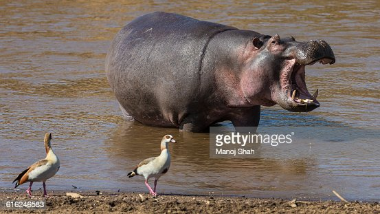 Egyptian Geese walking past a hippo : Stock Photo