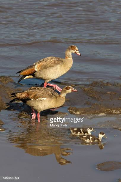 Egyptian geese with chicks