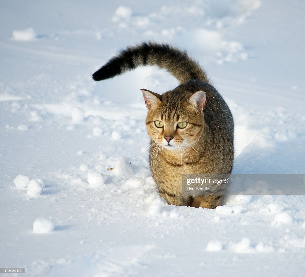Egyptian Mau Cat in snow