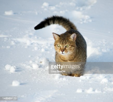 Egyptian Mau Cat in snow : Stock Photo