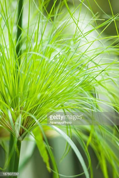 papyrus égyptien'King Tut'herbe Plante-je
