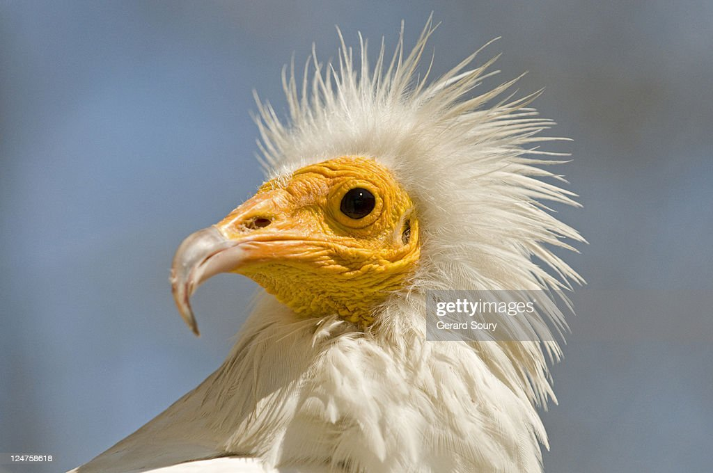 Egyptian vulture (Neophron percnopterus) bird in captivity, Camargue, France : Stock Photo