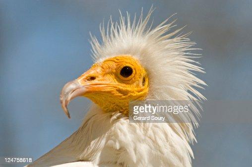 Egyptian vulture (Neophron percnopterus) bird in captivity, Camargue, France : Bildbanksbilder