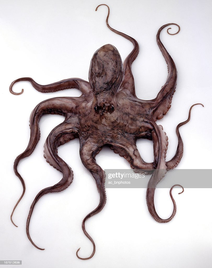 Eight legged brown octopus against white background