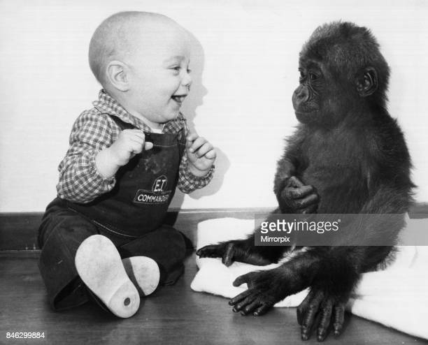 Eight month Thomas Philllips drops into Bristol Zoo to meet Lea the lonely baby Gorilla who was abandoned by his mother November 1982