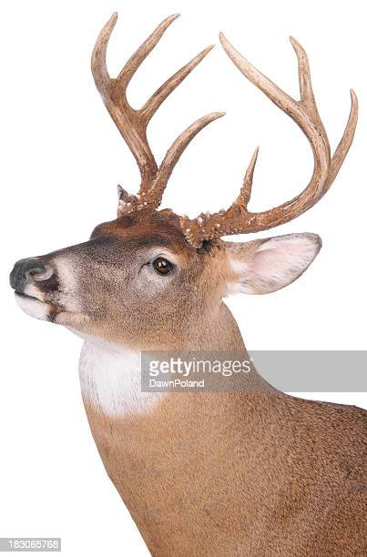 Eight point buck on white background