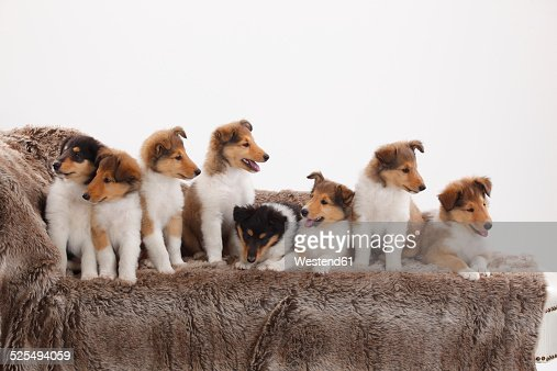 Eight rough Collie puppies sitting on a couch in front of white background