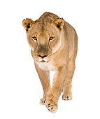 Lioness (8 years) - Panthera leo in front of a white background.