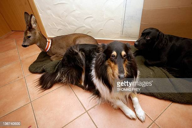 Eightmonth old fawn 'Mia' lies next to Labrador 'Josie' and Collie Luna in a house in Ellscheid western Germany on January 9 2012 Mia was raised with...
