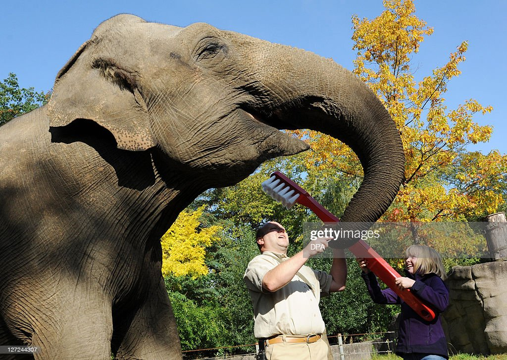 Eightyear old Jule and a zookeeper try lo clean the teeth of the elephant 'Mogli' with a giant toothbrush at the animal park Hagenbeck in Hamburg...