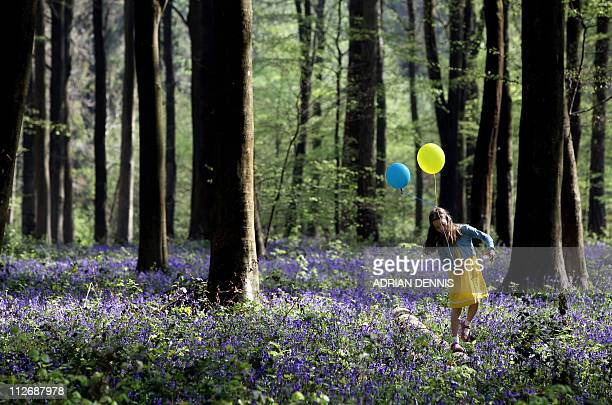 Eightyearold Daisy Dennis balances on a log with her birthday balloons amongst a bluebell glade while walking in Micheldever Wood near Basingstoke in...