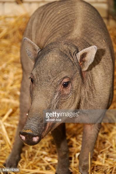 Ein Hirscheberweibchen im Schweinehaus des Berliner Zoos eingetroffen