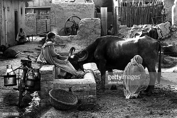 Eine Frau melkt eine Kuh Die Milch wird in Milchkannen auf einem Fahrrad transportiert oJ