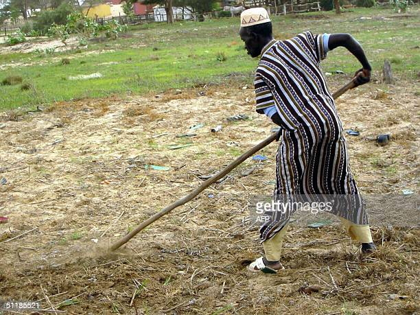 El Hadji Dieye a farmer of the northern Senegalese village of Fass Dieye near SaintLouis rakes his field 11 August 2004 one of the few that can be...
