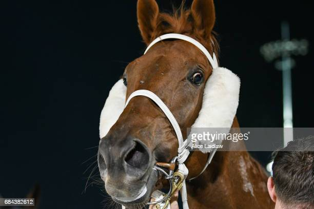 El Sicario after wining the Black Leopard Skin Care BM70 Handicap at Racingcom Park Synthetic Racecourse on May 18 2017 in Pakenham Australia