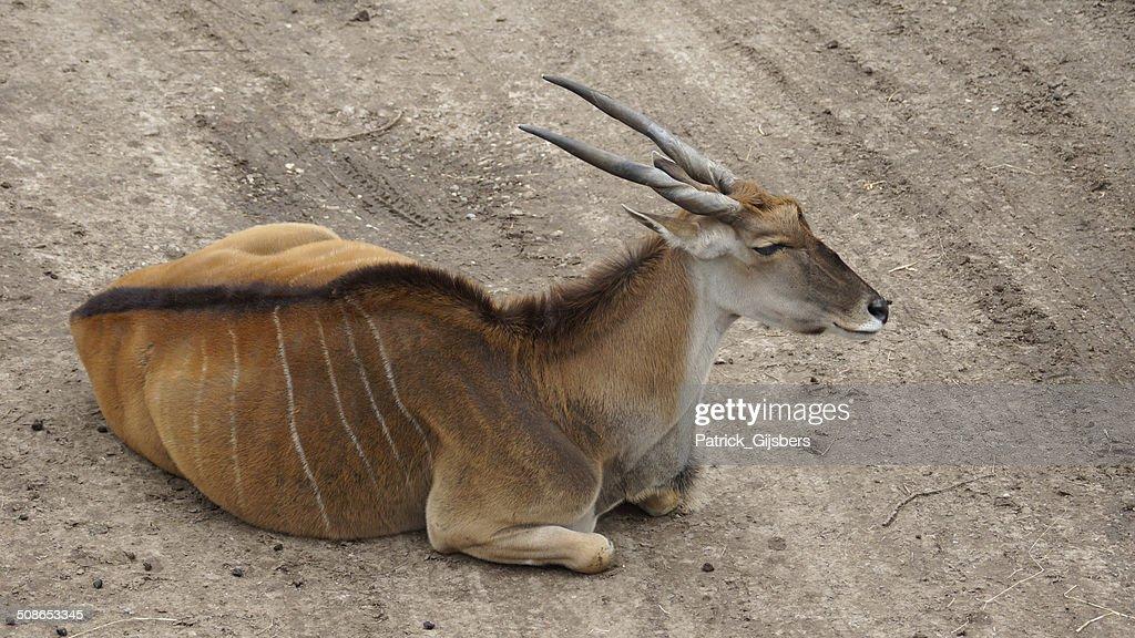 Eland antelope : Stock Photo